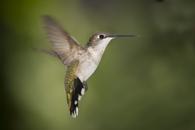 640px-Hummingbird_Texas-wikipedia