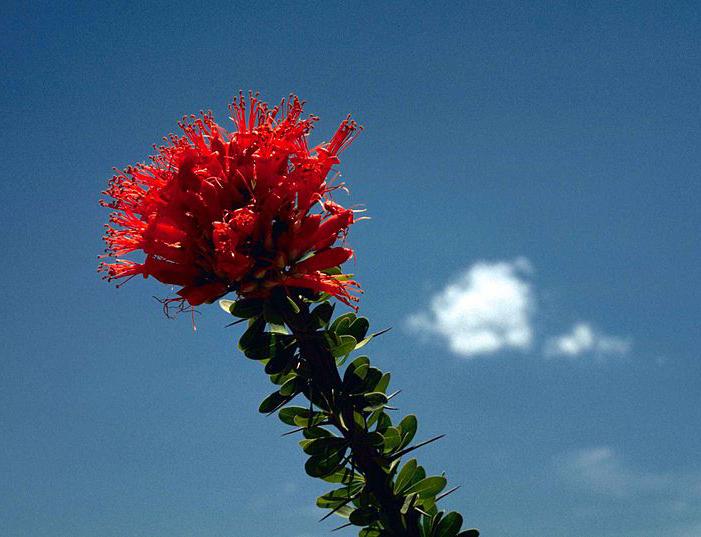 Red_ocotillo_flower