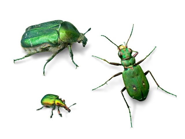 scarab-beetles
