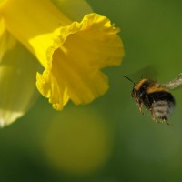 bee & daffodil