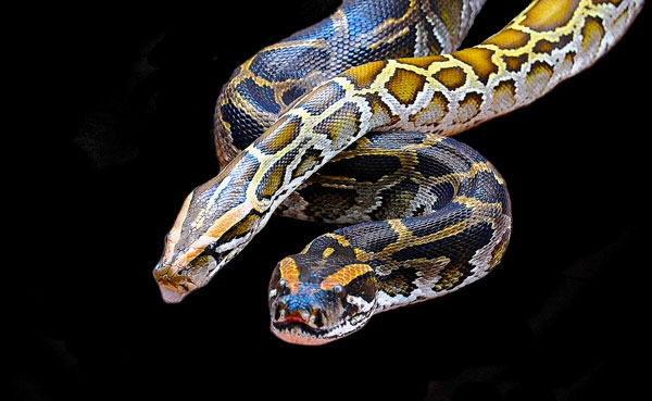 Bungalese-Constrictor