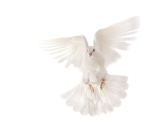 White-Pigeon-Flying