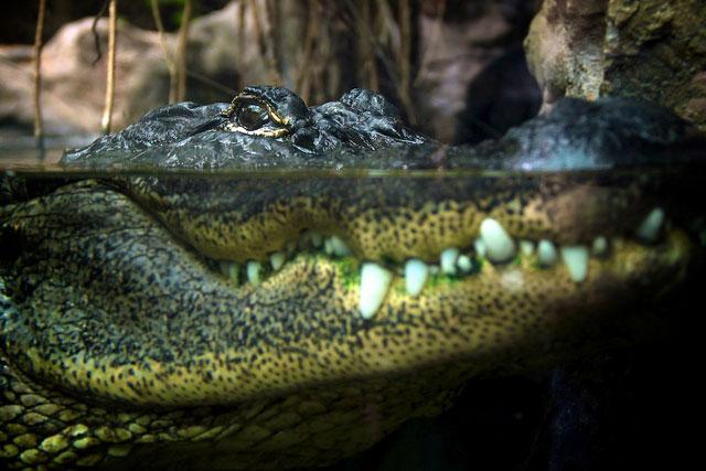 Alligator-Teeth