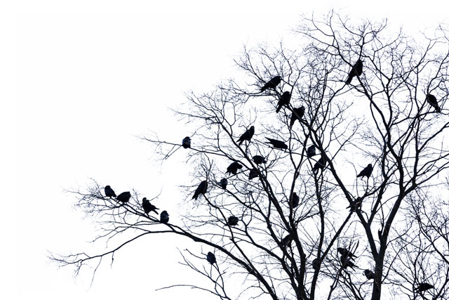the-crows