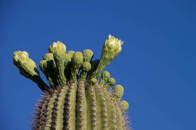 Sagurao cactus