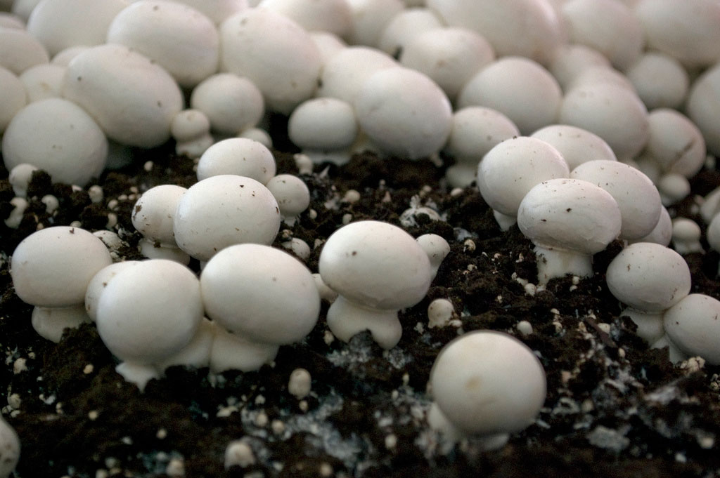 Colony of white mushrooms