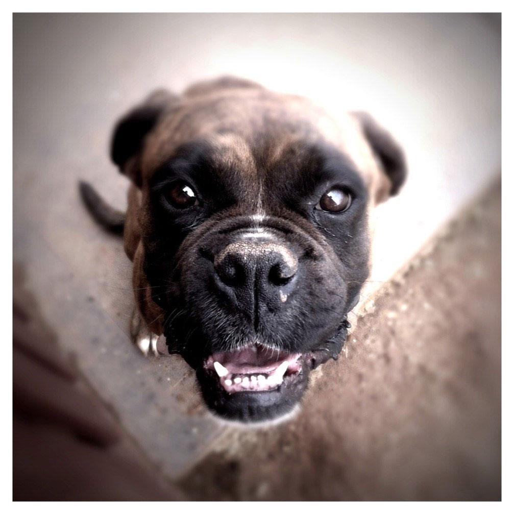 Bulldog smiling at camera