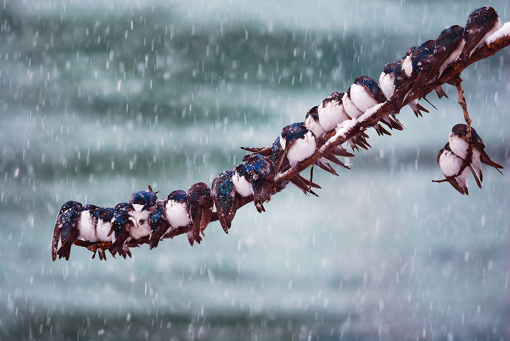 Birds sheltered on tree limb in snow