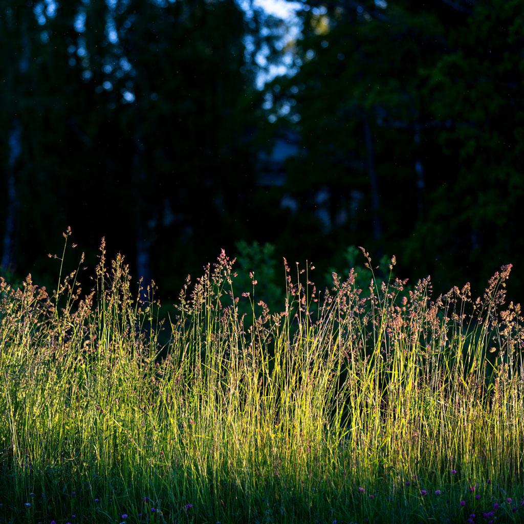 Row of field grasses