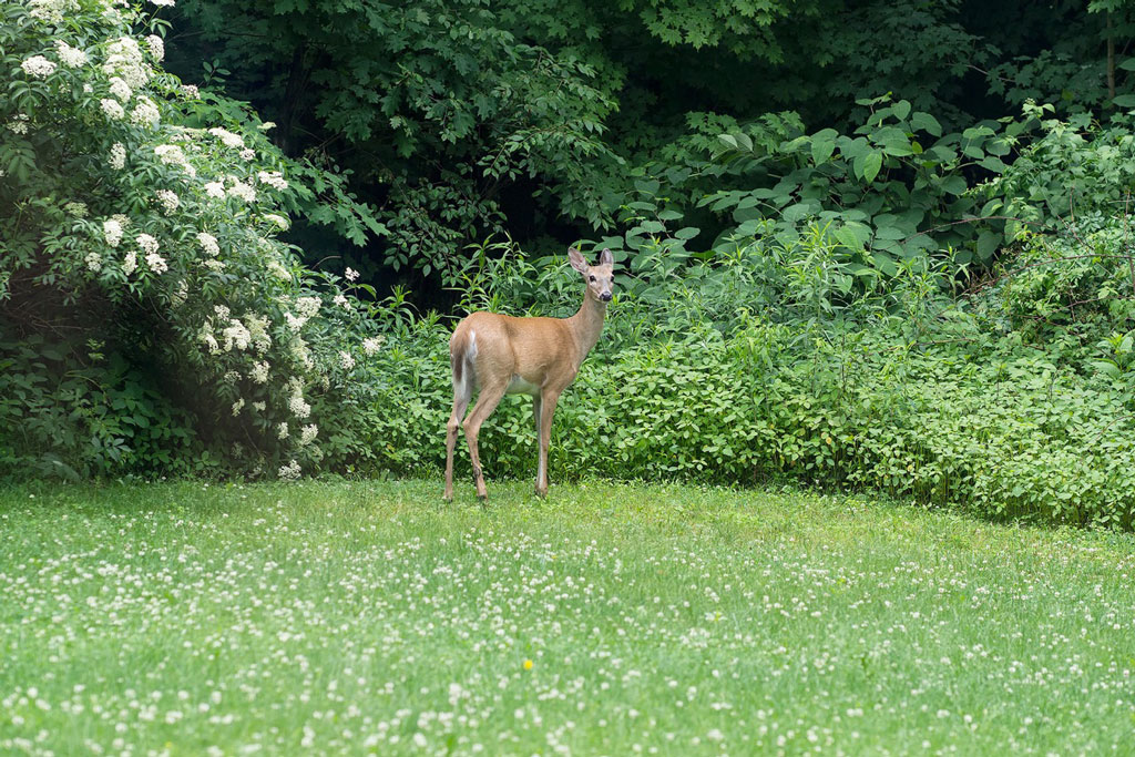 Deer in green lawn