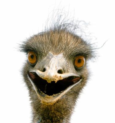 EMU ON THE LOOSE  by Thaddeus Rutkowski