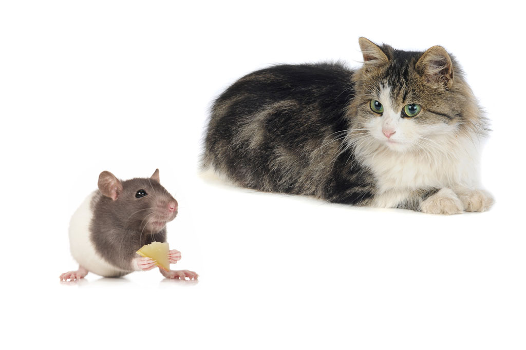 Tabby cat looking at a mouse
