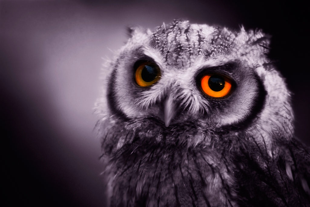 Spotted owl with bright orange eyes