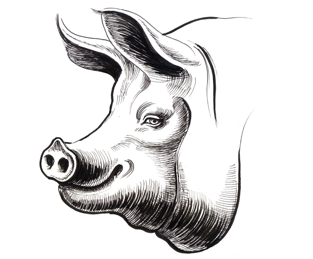 Sketch of large pig