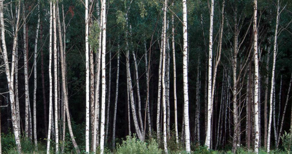 Dense forest of Aspen trees