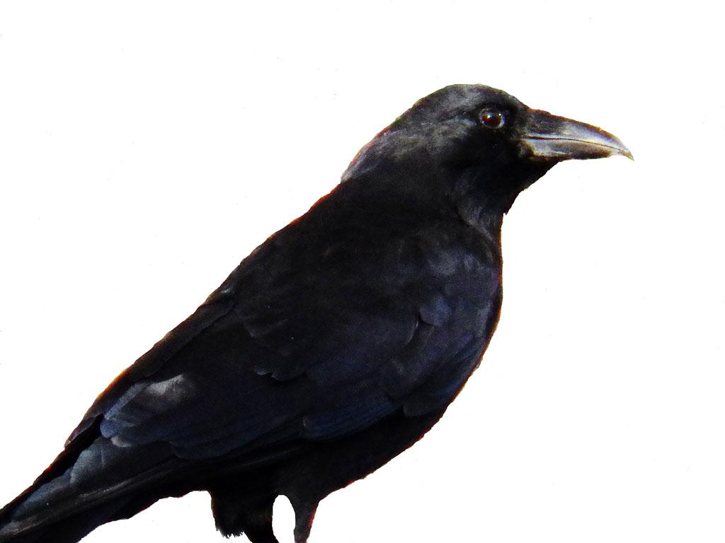Raven against white background