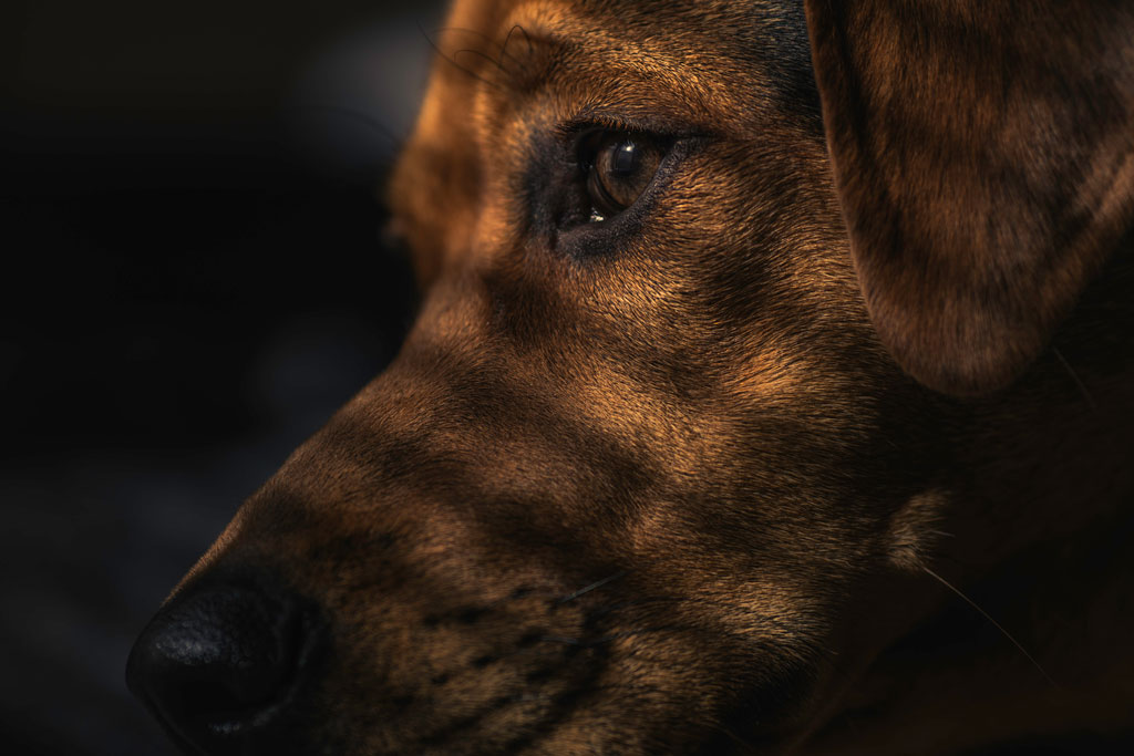 Close-up of a large brown dog's face