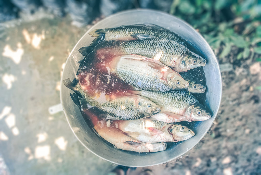 Several dead fish in an ice bucket