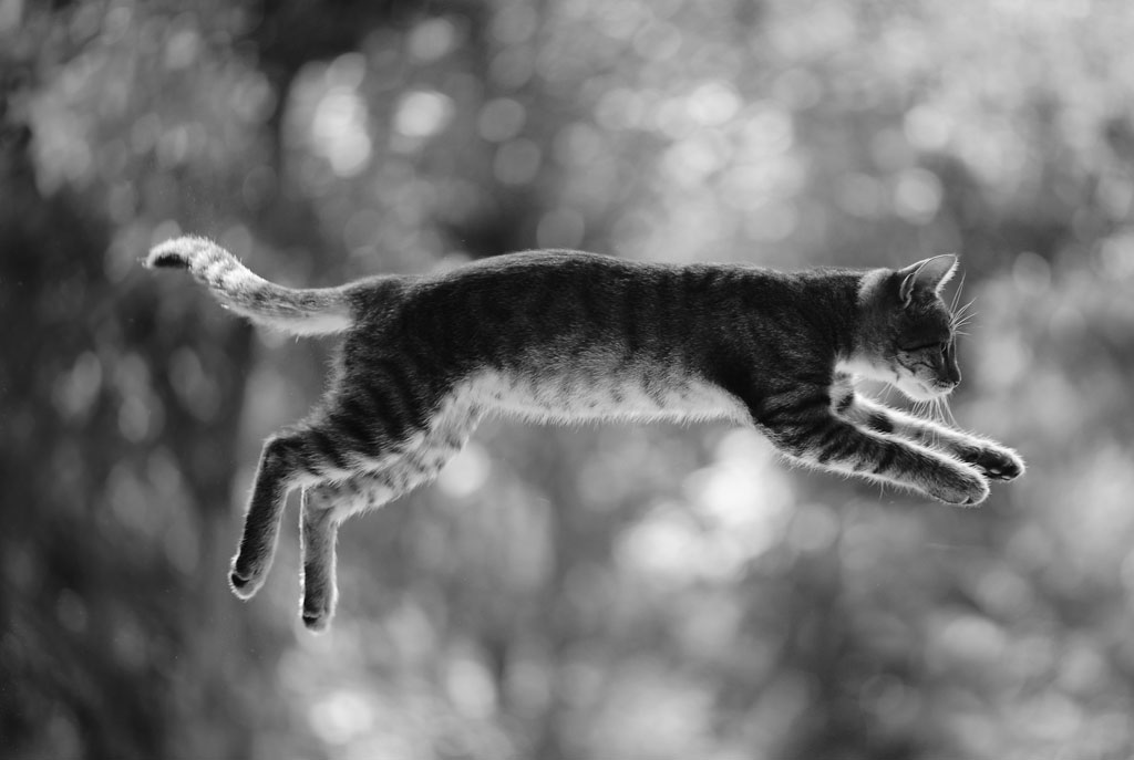 Small tabby cat leaping through the air