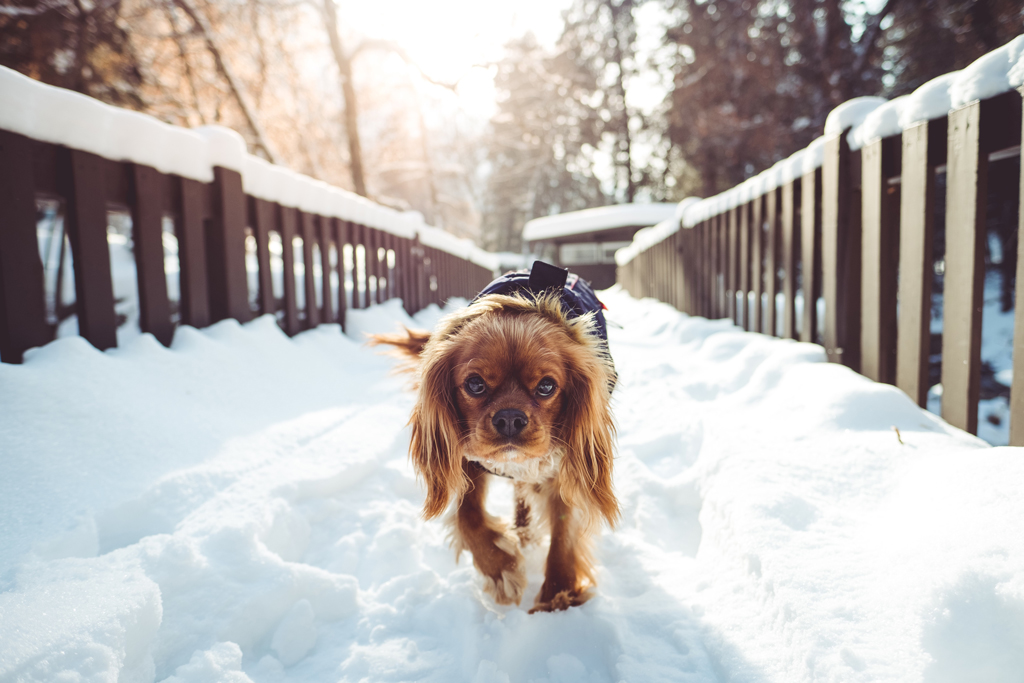 Brown dog walking on a snowy bridge