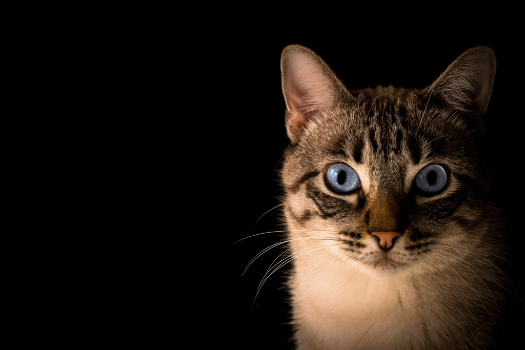 Tabby cat with blue eyes in front of a black background