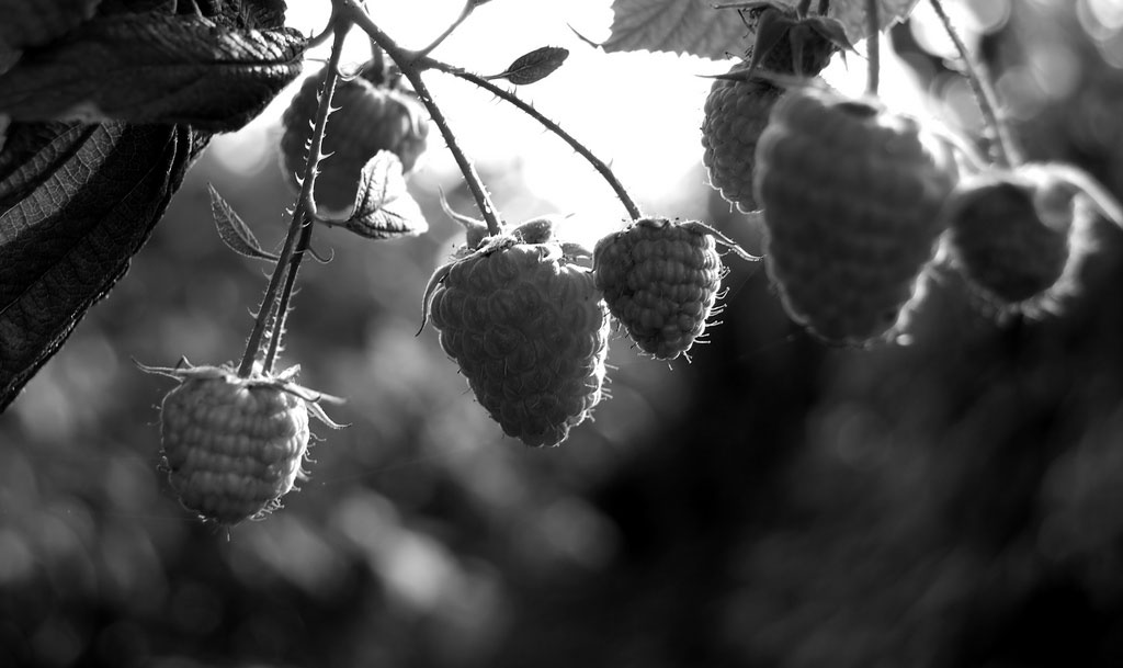 Black-and-white  close-up of a raspberry bush