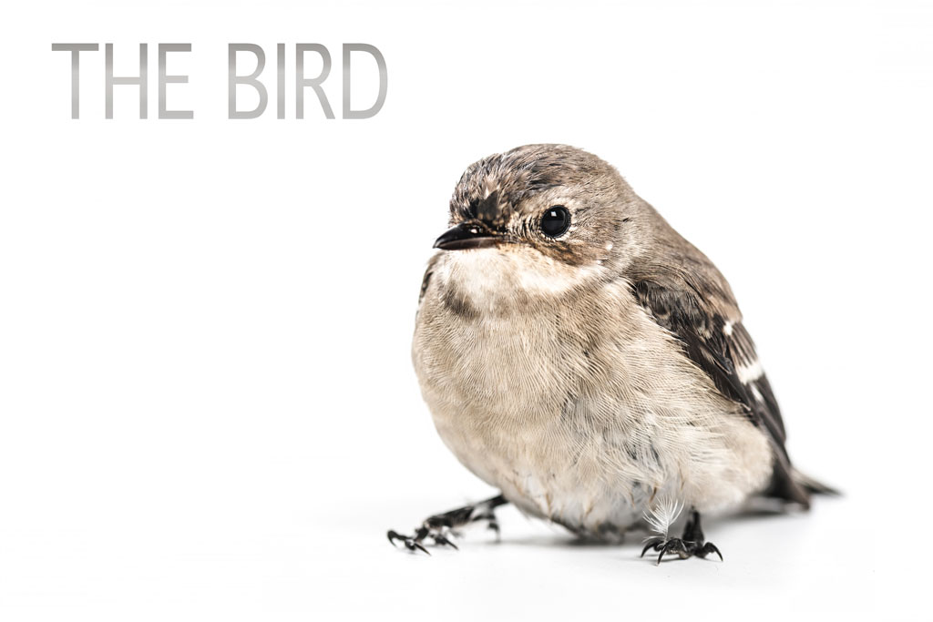 "Small bird against white background with title ""The Bird"""