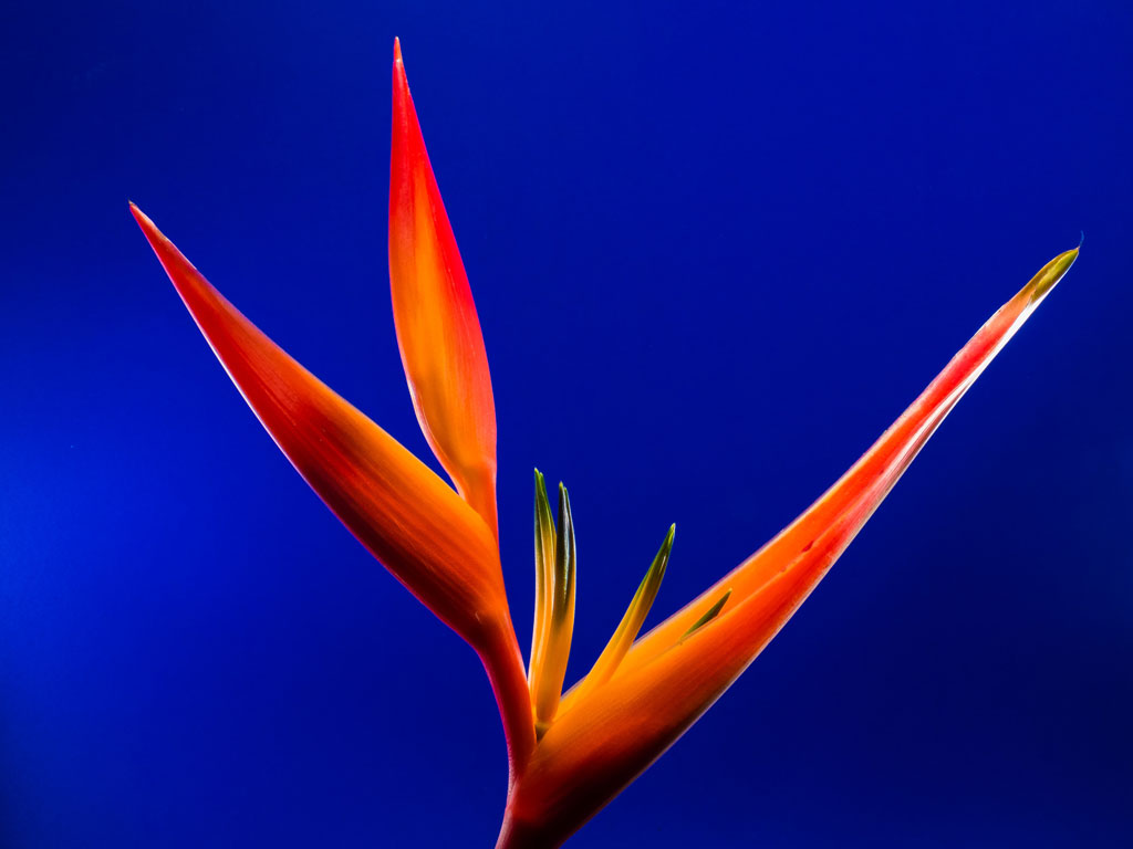 Vibrant orange and red Bird-of-paradise flower against a bright blue background