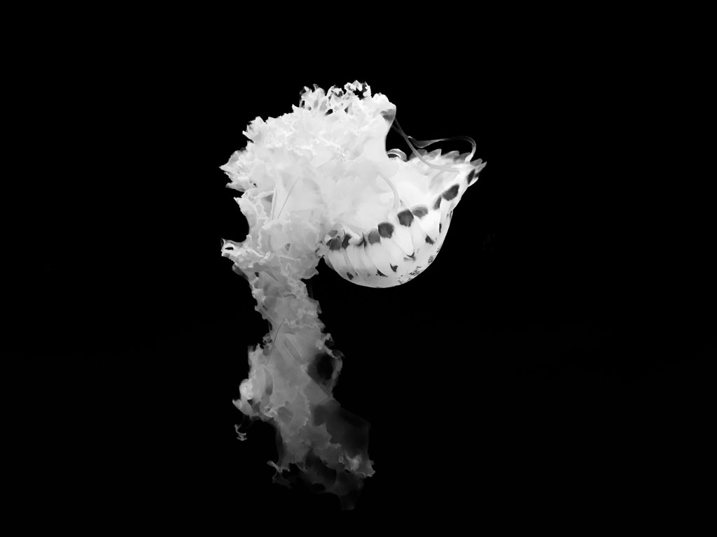 Swimming white jellyfish against black background