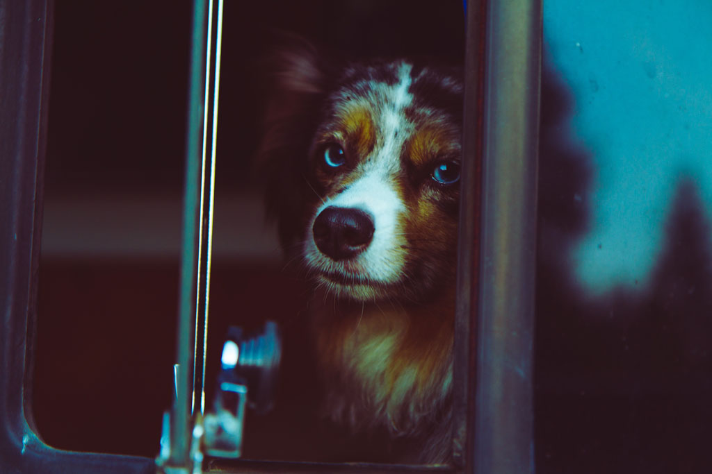 Australian Shepherd puppy looking out of a dark window