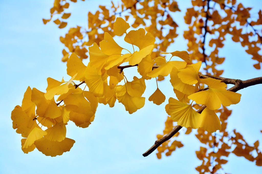 Yellow leaves hanging from a tree branch against an aqua blue sky