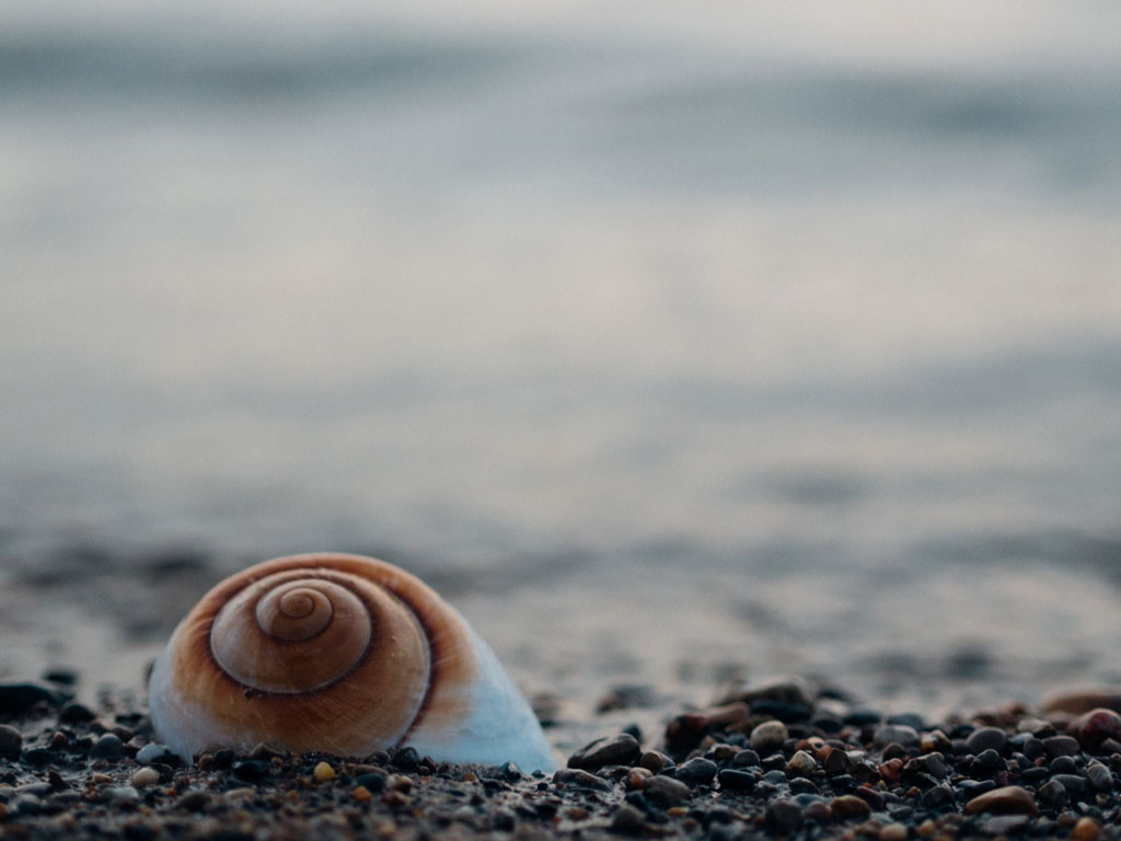 brown and white seashell on sand with ocean in background