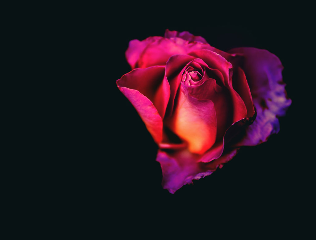 Pink, purple, and orange rose in harsh lighting