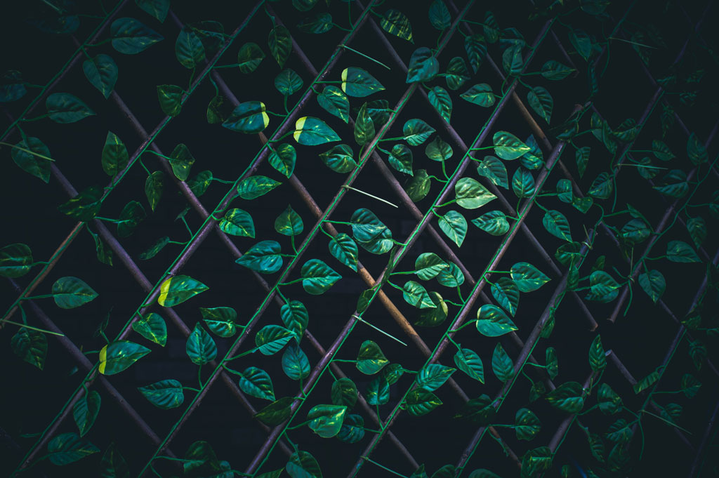 Green vines on a garden trellis in harsh lighting