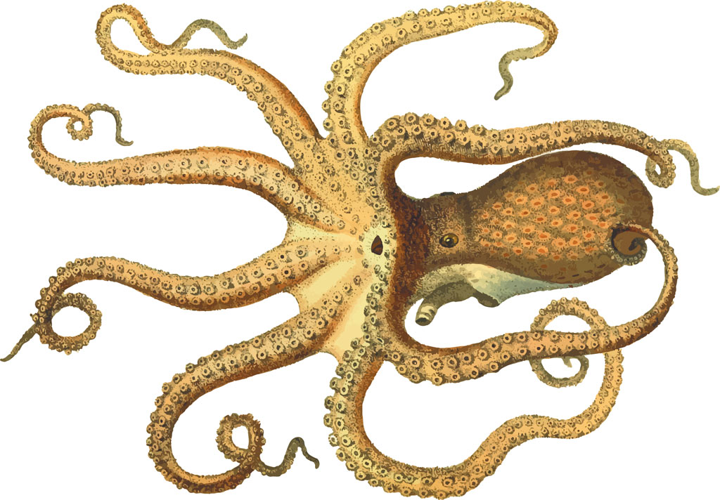 Life-like sketch of an orange octopus