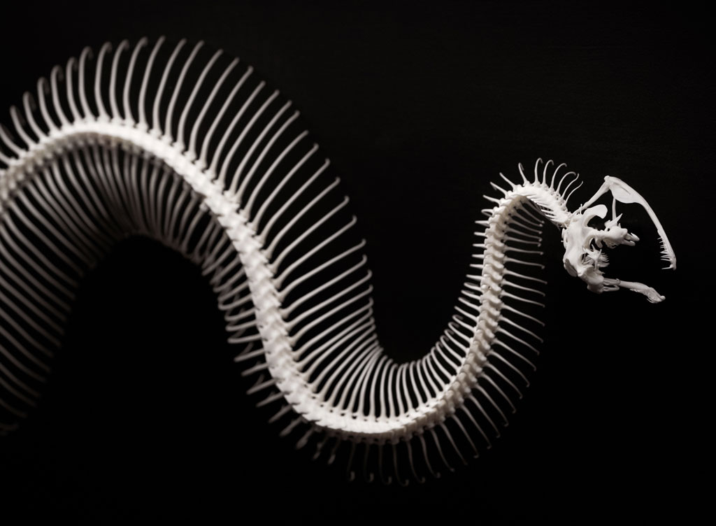 Skeleton of a Spiny Bush Viper snake