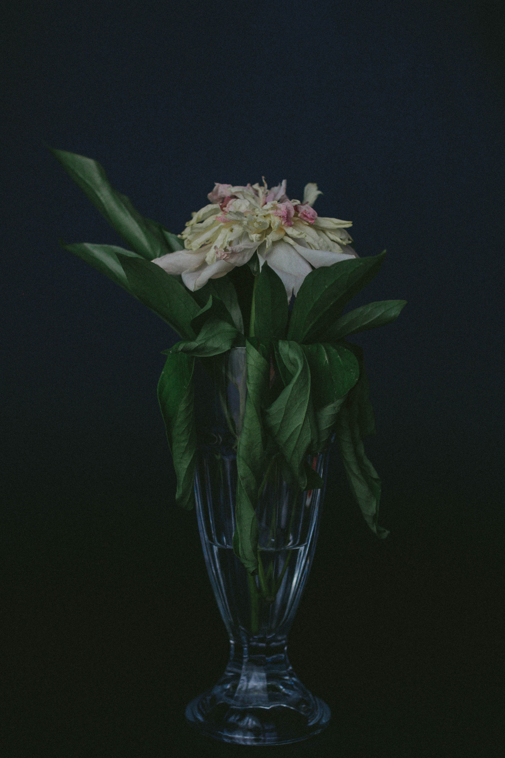 Dead peony flower in a light blue vase against a black background