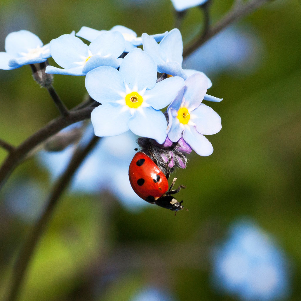 A bright red ladybug hanging from baby blue flowers with a green background