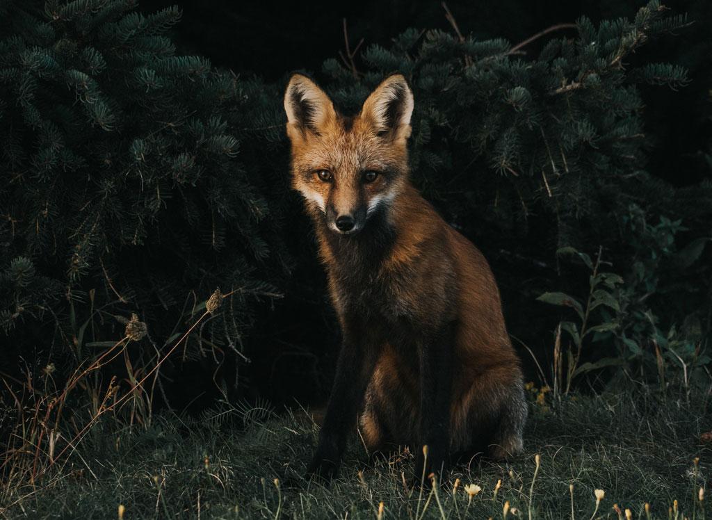 Red fox in dark field