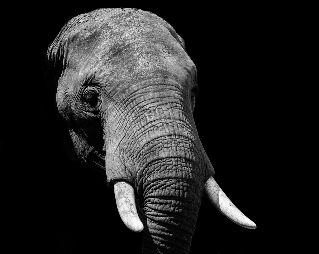 Elephant's head in harsh lighting against a black background