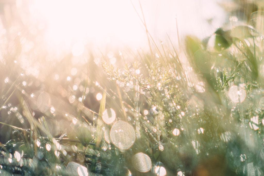 Dewy field of wild grass in morning light