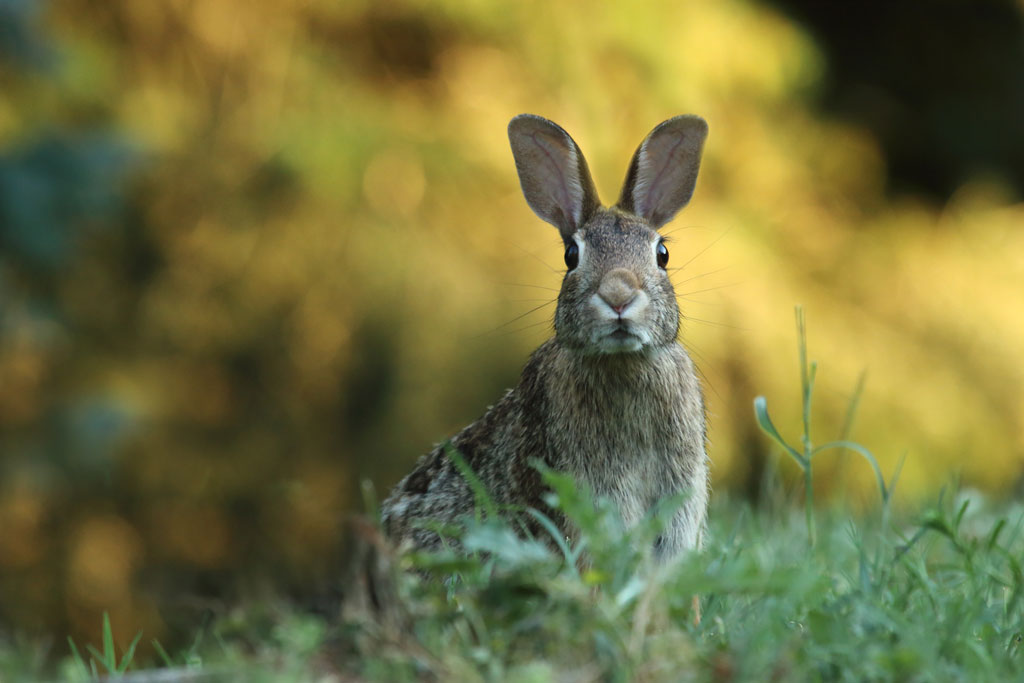 Brown rabbit peeking over grass on a hill