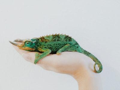 A female human hand holding a chameleon lizard