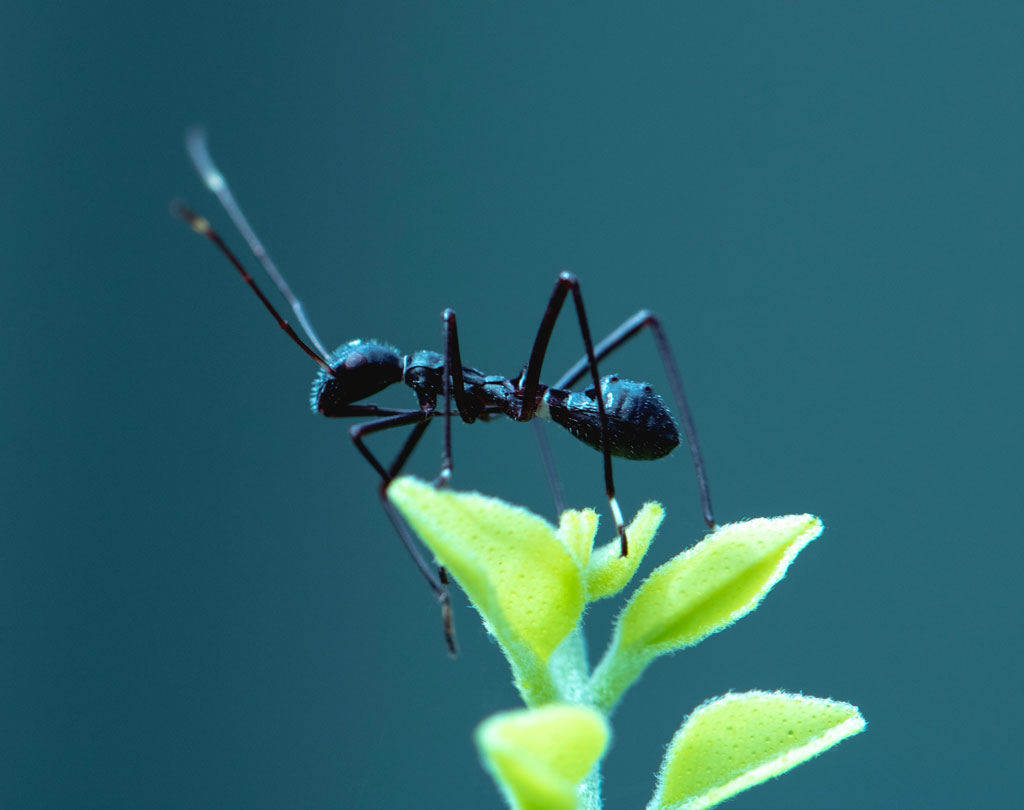 Close-up of a black ant on a leaf before a blue background
