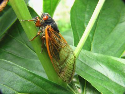 Cicada on tree leaf