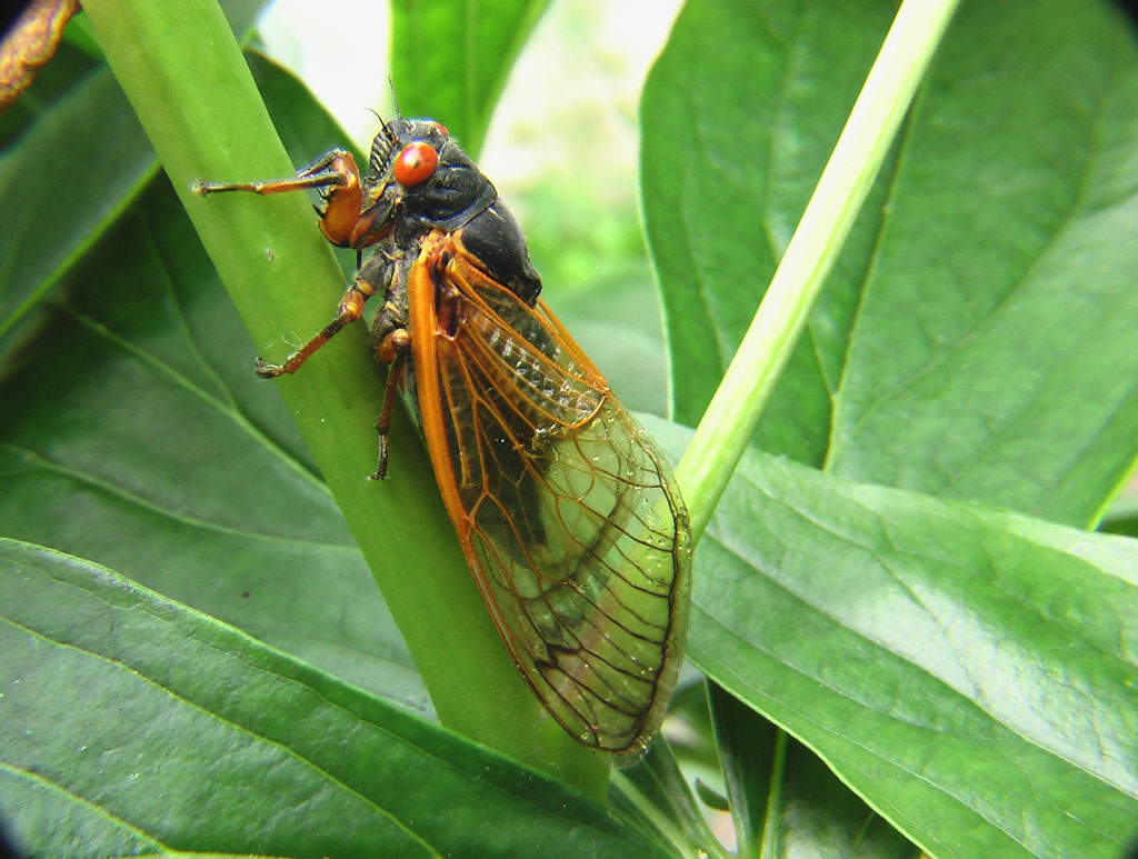 Cicada on tree leaf