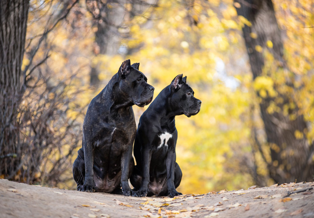 Two Cane Corso dogs sitting on a log
