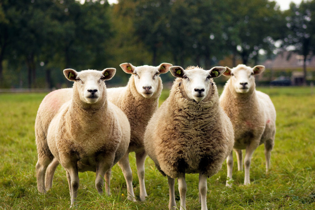 Four sheep staring into the camera