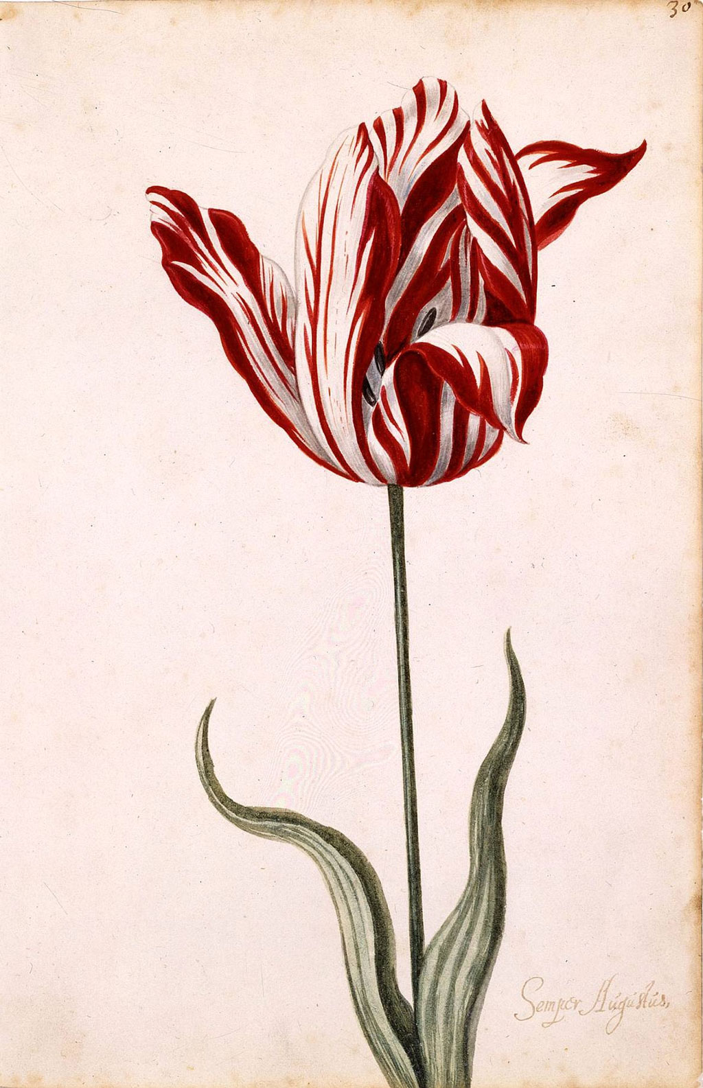 17th c tulip painting
