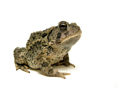green toad isolated on white background